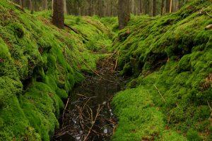 Odvodňovací kanál v rašelinné smrčině stanoviště vysušuje