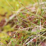 Lovčík vodní - zajímavý obyvatel rašelinišť