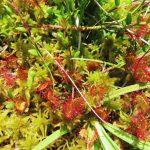 Rosnatka okrouhlolistá - Drosera rotundifolia