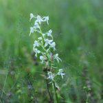 Vemeník zelenavý - Platanthera chlorantha