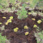 Rašelinu získáváme na vyvíšených plochách, kde snížíme terén a podpoříme zarůstání rašeliníkem.