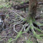 Vltavský luh odkrývá podobu smrkových kořenů.