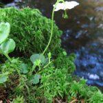 Jednokvítek velekvětý - Moneses uniflora