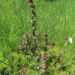 Všivec bahenní - Pedicularis palustris