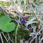 Dřípatka horská - Soldanella montana