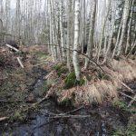 So sieht eine durch Entwässerungskanäle durchzogene und später von Baumbewuchs überwachsene Quelle aus. Wir werden sie renaturieren.
