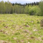 Dry peaty meadow overgrowing by grasses, maily carex brizoides