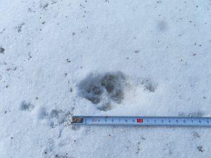 Ein langer Schritt, große Pfotenabdrücke mit Krallen - ein Wolf war hier.