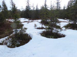 Das Schmelzen beginnt um die Bäume herum. Der schmelzende Schnee bewässert gleich die Bäume. Wie praktisch…