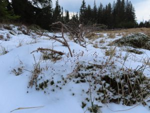 Polytrichum commune in the snow. A seta supports the capsule with spores and spreads the next generation of mosses to the wind.