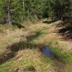 Der Weg zur Renaturierung. Das Wasser wird angestaut, durch die Holzentnahme kann wieder Licht einfallen und damit kann das Torfwachstum = Moorwachstum beginnen.