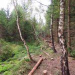 Die erste Phase der Renaturierung in dichter Vegetation - Holzeinschlag. Uferwälle werden sichtbar, die als Zugangswege für leichte Maschinen genutzt werden. Wir fällen keine Laubbäume und Tannen.