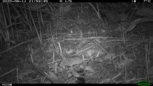 Myšivka horská je jedním z nejvzácnějších druhů drobných savců v Německu. Foto: Stille NATUR/ David Stille, 2020